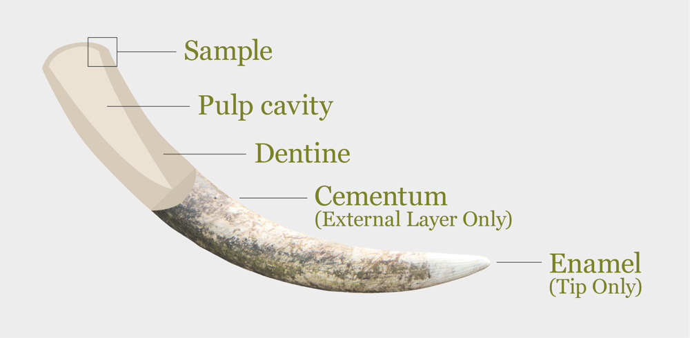 Tusk morphology